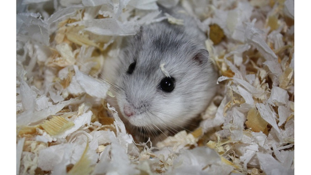 Student forced to flush emotional support hamster down toilet